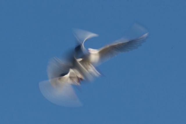 Lebensraum: Möwen spielen fliegend am blauen Himmel